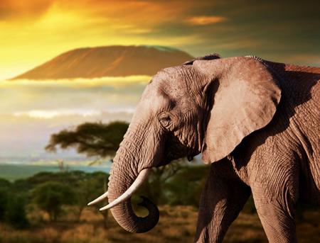 عکس فیل افریقایی elephant africa wallpaper