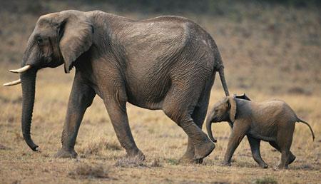 عکس فیل و بچه فیل افریقایی baby elephant mother