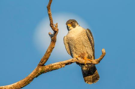 عکس زیبای پرنده شاهین falcon bench tree