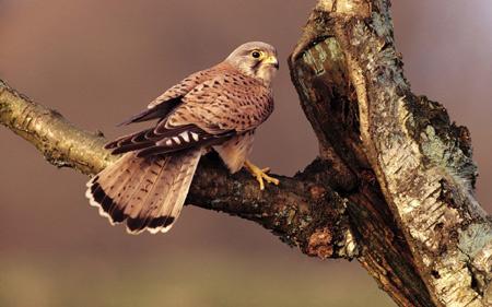 عکس شاهین روی درخت falcon branch tree