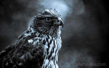 عکس سیاه و سفید شاهین falcon black white