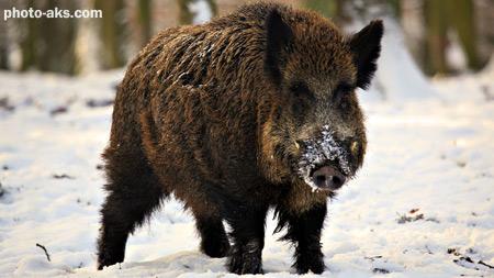 گراز وحشی در زمستان wild boar winter