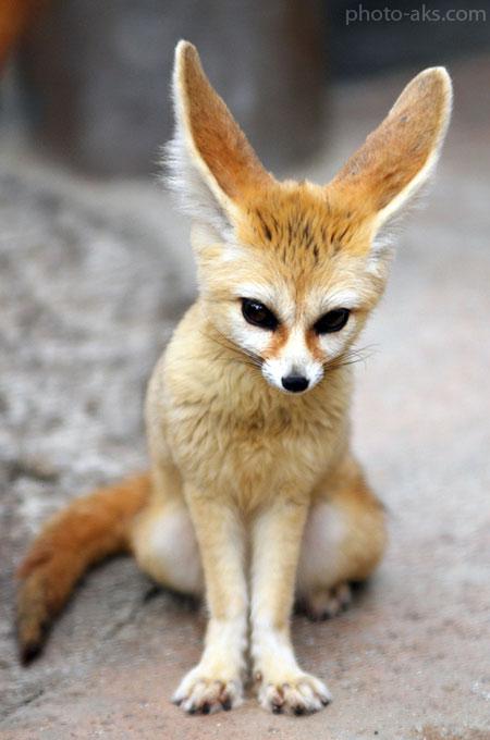 روباه فنک fennec fox