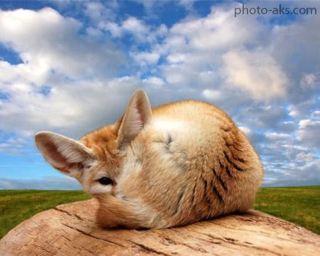 پوستر روباه فنک fennec fox wallpaper