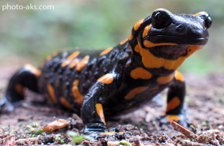 سمندر آذرین fire salamander black orange