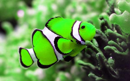 عکس دلقک ماهی سبز خوشگل green clownfish picture