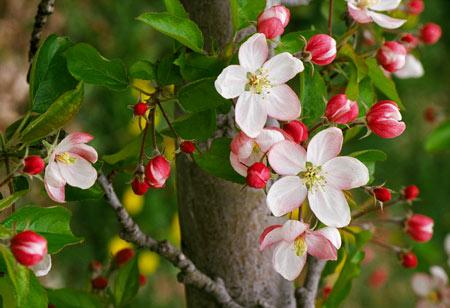 شکوفه بهاری درخت سیب flower apple blossom