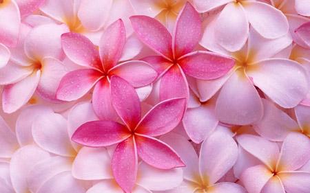 پس زمینه گل های صورتی زیبا pink flowers beautiful