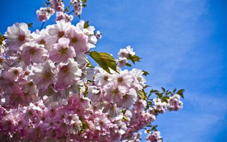 شکوفه صورتی و سفید بهاری spring flowers sky blue