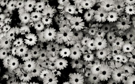 عکس گلهای سیاه و سفید flowers black white
