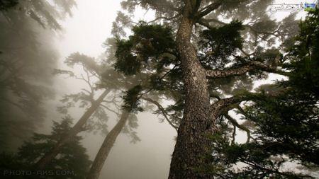 درختان سربه فلک کشیده جنگلی forest tree