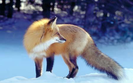 عکس روباه زرد در طبیعت برفی fox snow winter waiting hunt