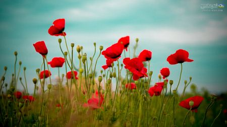 والپیپر بزرگ دشت گل ها hd best wallpapers of poppy flowers