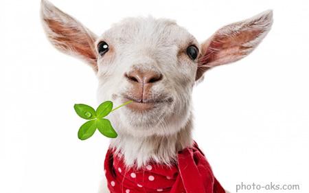 عکس بز سفید funny goat picture