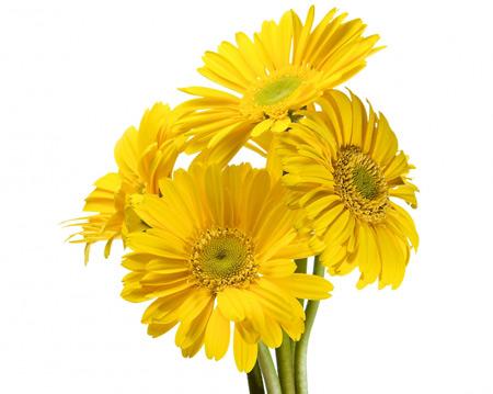 عکس گلهای زرد ژربرا با زمینه سفید gerbera yellow flower