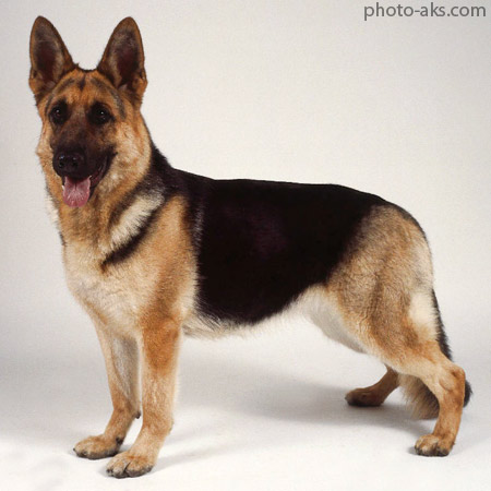 سگ ژرمن شپرد german shepherd dog