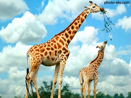 عکس زرافه ها giraffe wallpapers