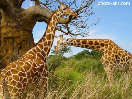 زرافه ها giraffes