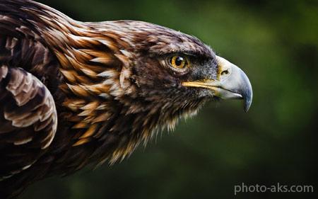 عکس عقاب ایرانی طلایی iranian golden eagle