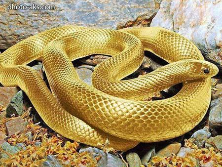مار طلائی golden snake