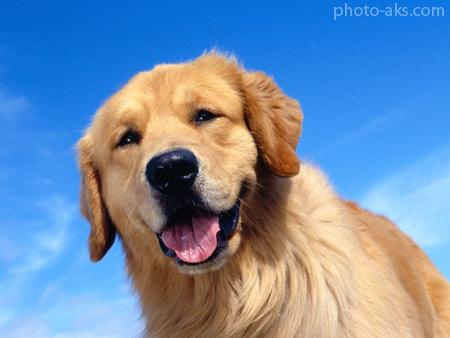 سگ شکاری دو رگه طلایی golden retriever