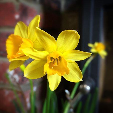 شاخه گلهای نرگس زرد gole narges zard