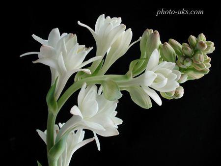گل مریم Tuberose flower