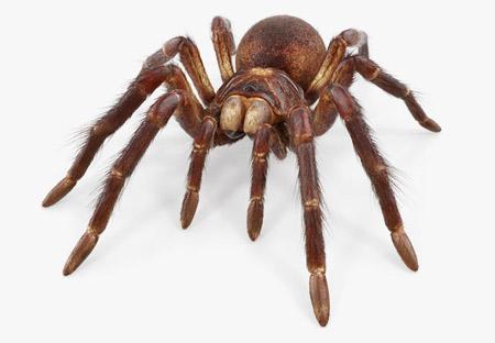 بزرگترین عنکبوت جهان goliath birdeater