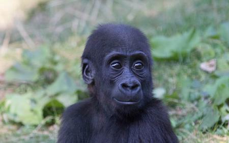 عکس بامزه بچه گوریل gorilla monkey baby