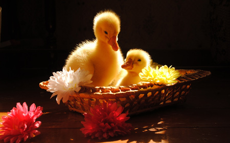 عکس جوجه غاز زرد رنگ خوشگل goslings wallpapers