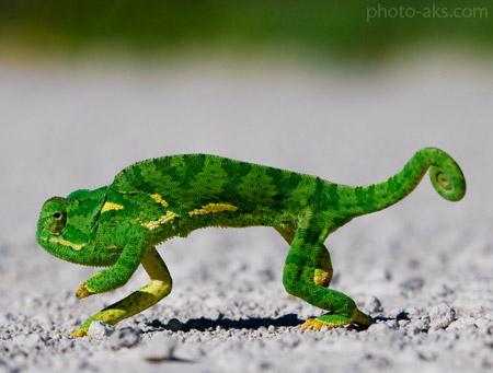 عکس حرکت آرام آفتاب پرست chameleons walking