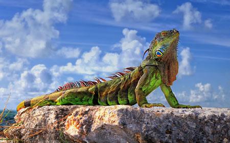 عکس مارمولک ایگوانا سبز green iguana wallpaper