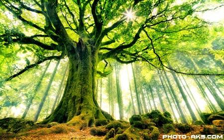 عکس درخت سرسبز و کهنسال green old tree