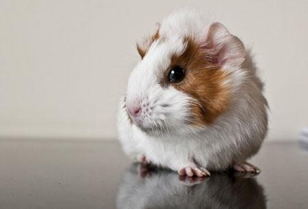 عکس خوکچه هندی خال خالی guinea pig rodent