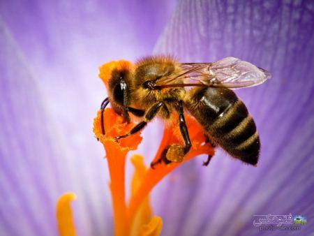 عکس بزرگ زنبور عسل honey bee wallpaper