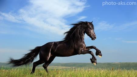 اسب انگلیسی سیاه england horse