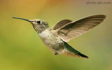 مرغ مگس خوار hummingbird wallpaper