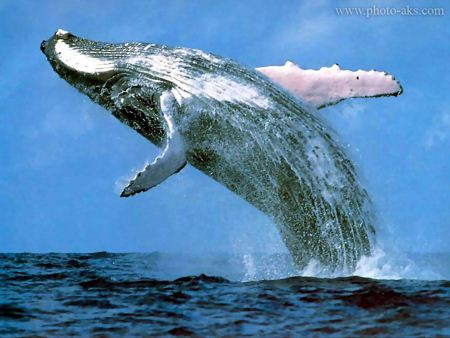 پرش وال بزرگ humpback whale photo aks