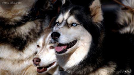 سگ های نژاد هاسکی husky dogs