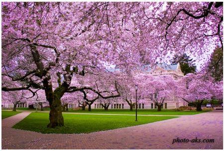 شکوفه درخت کیلاس ژاپنی cherry blossom