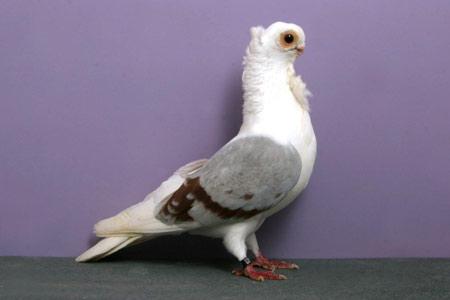 عکس کبوتر تزئینی خوشگل aks kabotar tazini