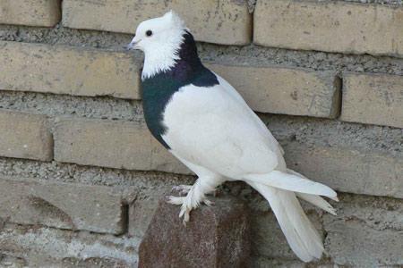 عکس کبوتر طوقی زیبا aks kabotar togi
