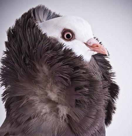 کبوتر کله شیری kabotar kale shiri