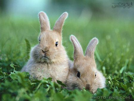 خرگوش های خاکستری kharghoosh