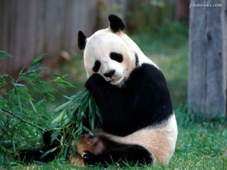 خرس پاندا aks khers panda