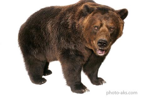 خرس گریزلی grizzly bear
