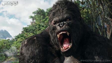 کینگ کونگ گوریل خشمگین king kong angry