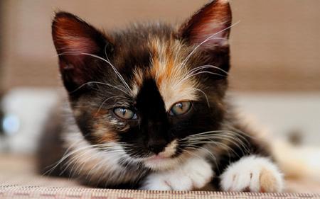 عکس نگاه بچه گربه خال خالی kitten face spotted look