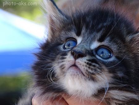 عکس بچه گربه سیاه kitten face cute