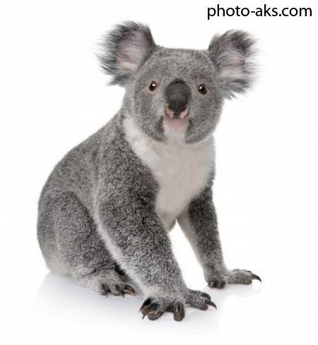 خرس کوالا koala bear